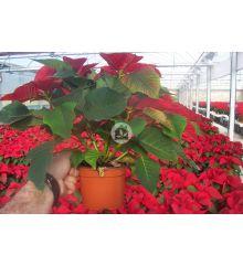 Poinsettia o Flor de pascua ( 15 plantas)