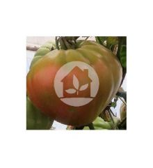 Tomate Huevo Toro